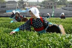 茶摘み風景。西尾市は、抹茶の材料となる「てん茶」の生産量が多い(写真提供:西尾市)