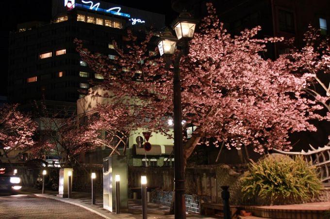 例年1~2月に咲く寒桜の一種、熱海桜(写真提供:熱海市)