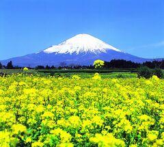 富士山と菜の花(写真提供:御殿場市)