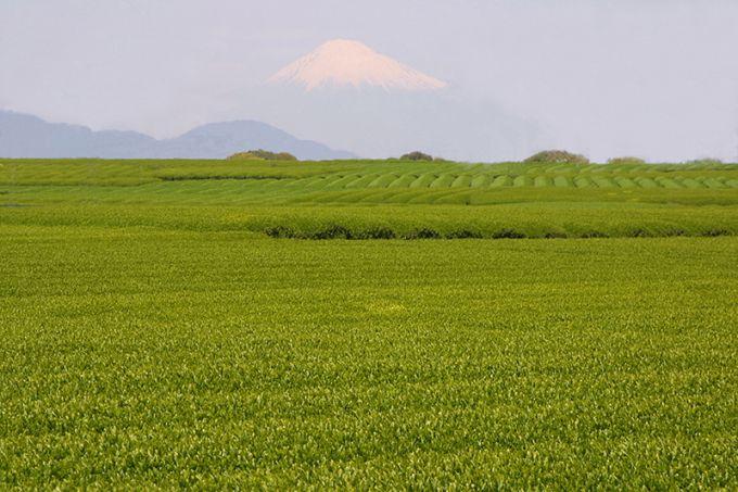 広大な茶園が広がる茶畑(写真提供:牧之原市)