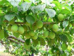 鳳来地区は梅の産地(写真提供:新城市)