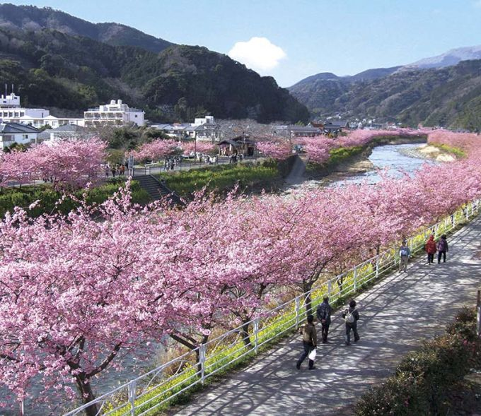 満開の河津桜並木(写真提供:河津町)