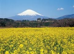 富士山と菜の花(写真提供:小山町)