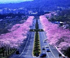 桜満開の冨士霊園(写真提供:小山町)