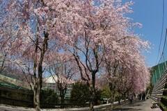 徳山しだれ桜の並木道(写真提供:川根本町)