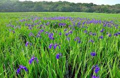 小堤西池のカキツバタ群落(写真提供:刈谷市)