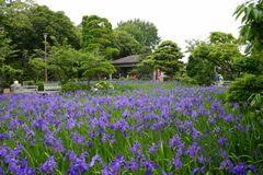 紫色の花が咲き誇る八橋かきつばた園(写真提供:知立市)