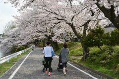 春爛漫の三好池(写真提供:みよし市)