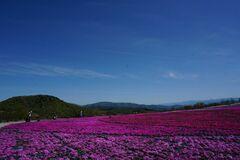 茶臼山高原芝桜の丘の花のじゅうたん(写真提供:豊根村)