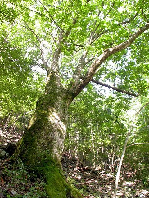 富山地区にある巨大な栃の木(写真提供:豊根村)