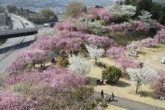 幸田文化公園に咲く、たおやかなしだれ桜(写真提供:幸田町)