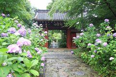 初夏にはあじさいが本光寺の参道や境内を埋めつくす(写真提供:幸田町)