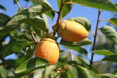 特産の筆柿は生産量日本一(写真提供:幸田町)
