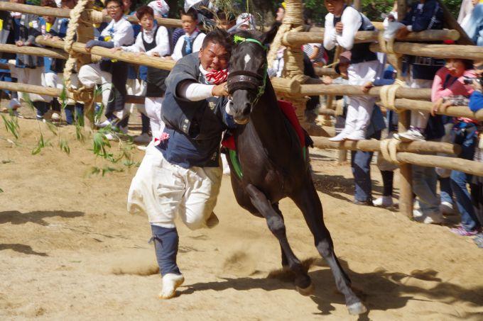 疾走する馬に人が飛びつき駆け回る「おまんとまつり」(写真提供:高浜市)