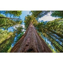 セコイアの木