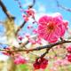 まもなく開花!2015年神奈川県内の梅の花の名所と梅まつり情報