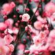 今年ももうすぐ梅の花が開花!大阪でおすすめな観梅スポット4選