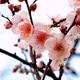 まもなく梅の花が開花する初春!福岡のおすすめ観梅スポット4選