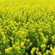 菜の花の季節が到来!旬を迎える観賞におすすめなスポット4選|東京