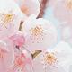 大阪造幣局の桜の通り抜けと広島造幣局の花のまわりみちの桜情報!