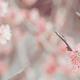 もうすぐ梅の花が開花!?名古屋でおすすめの観梅スポット4選!