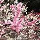 今年は親子で行きたい!愛知県で梅の花の観賞におすすめな名所2選