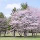 札幌市内のお花見におすすめな公園4選!ひと足先に春を満喫!