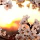 名古屋のお花見の名所4選|名古屋城などの開花が待ち遠しい!