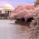 キャンプ座間で桜まつり開催!1日限定でアメリカを感じてみよう