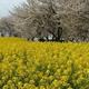 埼玉の菜の花の名所4選|季節到来!子どもと観に行きたい花畑