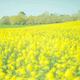 春到来の千葉といえば菜の花!県内でおすすめの観賞スポット4選