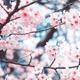 【特集】子連れで行きたいお花見!全国の桜の名所・穴場まとめ