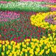 関東地方の花の名所おすすめ4選|広大なチューリップ畑が一面に