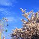 関東の桜スポット3選|花見もアトラクションも楽しめる!