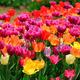 愛知県のチューリップの名所4選|咲き誇る美しさの競演!