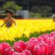 埼玉のお花の名所4選|桜の次はチューリップが見頃!