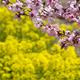 桃と菜の花が見頃の山梨で桃の花まつり!春の絶景にうっとり
