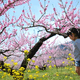 山梨の桃の花祭りに子連れでおでかけ|リニアも見られる名所