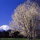 富士山と天然記念物のふじざくらを楽しめるお花見スポット2選!