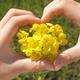 全国の菜の花畑特集|人気の菜の花畑スポットに家族でおでかけ!