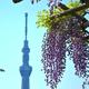 東京の藤の名所4選|GWのお出かけにも!藤の観賞シーズン到来