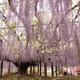 埼玉のおすすめ藤の名所4選|藤の花房と香りを堪能しよう!