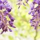 神奈川県内の藤の名所4選|春の大型連休は藤棚にうっとり!