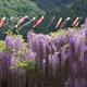 もうすぐ見頃!?GW前にチェックすべき愛知県の藤棚が名所の公園4選!