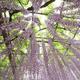 宮城県もまもなく藤の花の観賞シーズン!県内で見に行くべき名所4選