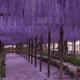 色あでやかに咲き誇る藤の香りに包まれる!藤の花の名所4選|大阪