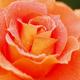 まさに見頃!色とりどりのバラが楽しめる名所4選|広島