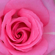 もうすぐ見頃!春バラとイベントが楽しめるバラの名所|神奈川