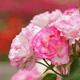 色とりどりのバラが見頃!イベントも開催中のバラ園他4選|東京