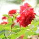 もうすぐ見頃!家族で楽しめるイベント満載のバラの名所!|長野